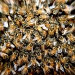 蜂に刺された時の対処法とは 針を抜き、患部を水洗いし、市販の虫刺され薬を