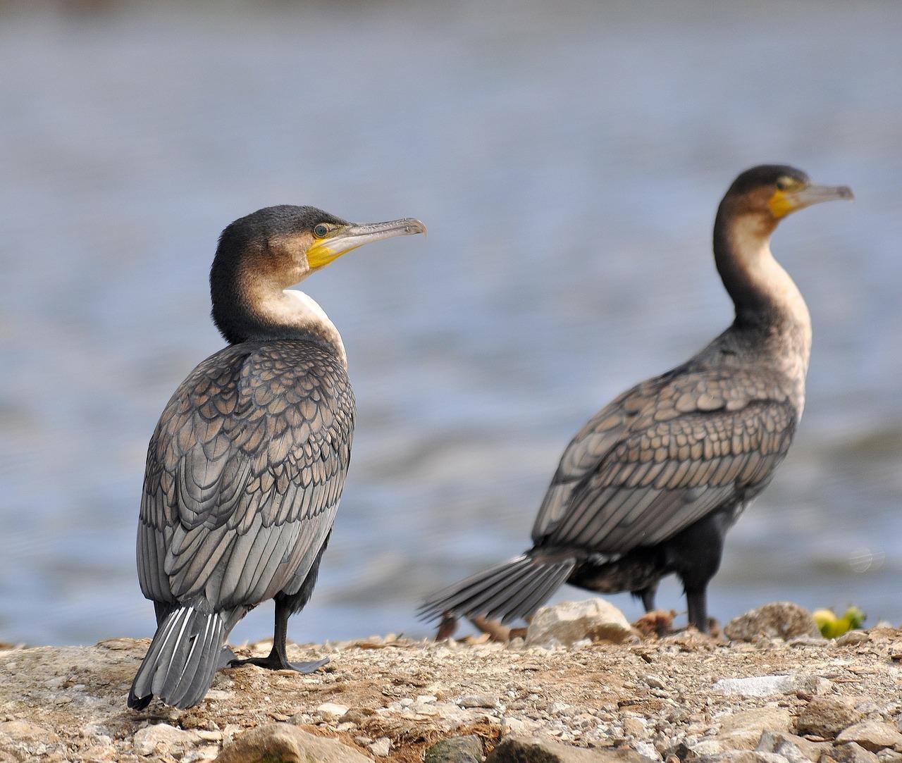 10-4. cormorant-944921_1280