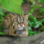 ツシマヤマネコの飼育、守る会、動物園や保護の現状、特徴などと守るためにできること