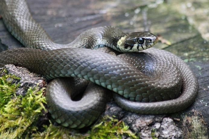 grass-snake-827057_1920