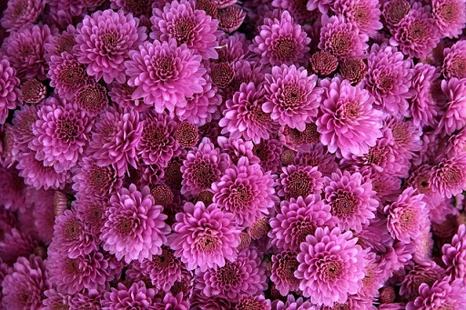 1-4. chrysanthemum-1013089_640