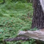 ゴゼンタチバナの大群落! 北海道川湯温泉周辺の原生林